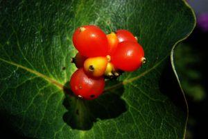 Gold-Geißschlinge tellmanniana • Lonicera tellmanniana