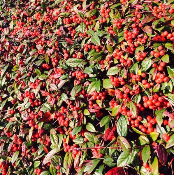Kriechmispel Parkteppich • Cotoneaster salicifolius Parkteppich