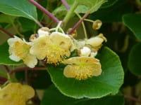 Kiwi, männlich Tomuri • Actinidia chinensis, männlich Tomuri