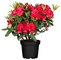 Rhododendron Hachmanns Feuerschein • Rhododendron Hybride Hachmanns Feuerschein