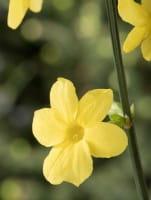 Echter Winter-Jasmin • Jasminum nudiflorum