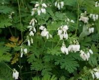 Garten-Herzblume • Dicentra eximia Alba