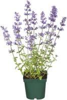 Traubige Garten-Katzen-Minze • Nepeta racemosa