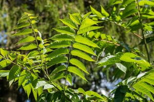 Chinesischer Gemüsebaum • Toona sinensis