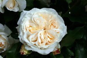 Rose Kosmos ® • Rosa Kosmos ®