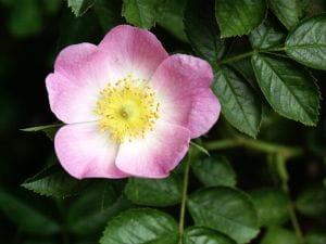 Wein-Rose • Rosa rubiginosa