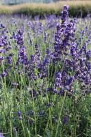 Lavendel Hidcote Blue • Lavandula angustifolia Hidcote Blue
