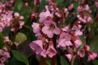 Garten Bergenie Rosi Klose • Bergenia cordifolia Rosi Klose