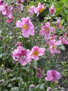 Garten Herbst Anemone Rosenschale • Anemone japonica Rosenschale