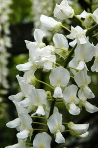 Weißer Chinesischer Blauregen • Wisteria sinensis Alba
