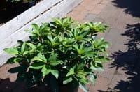 Rhododendron Junifeuer • Rhododendron Hybride Junifeuer