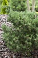 Schimmelfichte Laurin • Pinus mugo Laurin