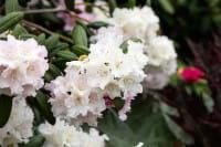 Rhododendron Schneewolke • Rhododendron yakushimanum Schneewolke