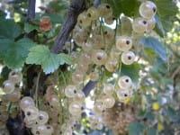 Weiße Johannisbeere Weiße Versailler • Ribes sativum Weiße Versailler