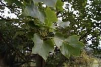 Säulen-Tulpenbaum • Liriodendron tulipifera Fastigiatum