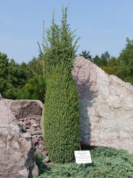 Zwerg-Säulenwacholder Compressa • Juniperus communis Compressa