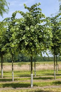Silberlinde Brabant • Tilia tomentosa Brabant