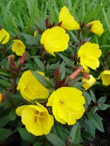 Garten-Nachtkerze • Oenothera tetragona Sonnenwende