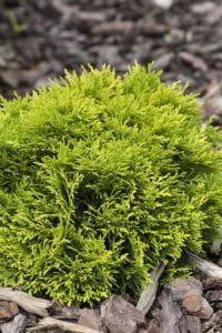 Zwerg-Lebensbaum Mirjam• Thuja occidentalis Mirjam