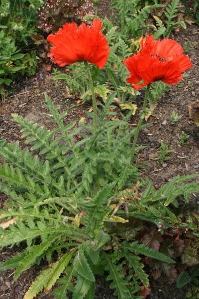 Orientalischer Garten-Mohn Türkenlouis • Papaver orientale Türkenlouis