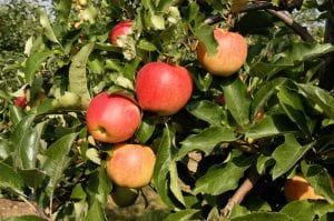 Apfelbaum Gala • Malus Gala
