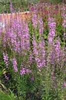 Blut-Weiderich • Lythrum salicaria