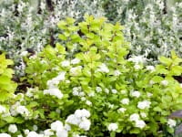 Birkenblättrige Spiere Tor • Spiraea betulifolia Tor