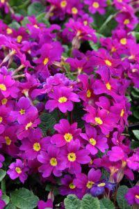 Garten-Kissen-Schlüsselblume Wanda • Primula x pruhoniciana Wanda