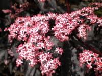 Fliederbeere Black Beauty (Gerda) • Sambucus nigra Black Beauty (Gerda)