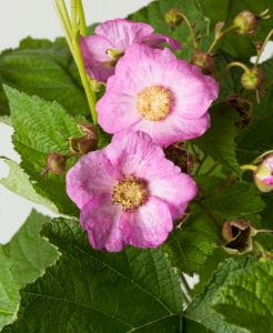 Zimthimbeere • Rubus odoratus