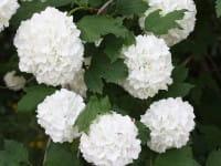 Echter Schneeball Roseum • Viburnum opulus Roseum