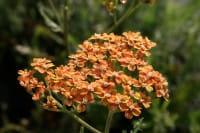 Schafgarbe Terracotta • Achillea millefolium Terracotta