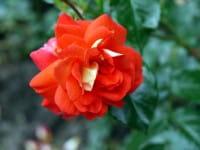 Rose Gebrüder Grimm • Rosa Gebrüder Grimm