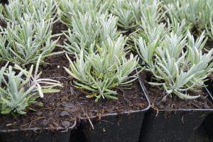 Lavendel 'Grosso' - Lavandula x intermedia 'Grosso'