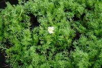 Gefülltblühende Garten Scheinkamille • Chamaemelum nobile Plena