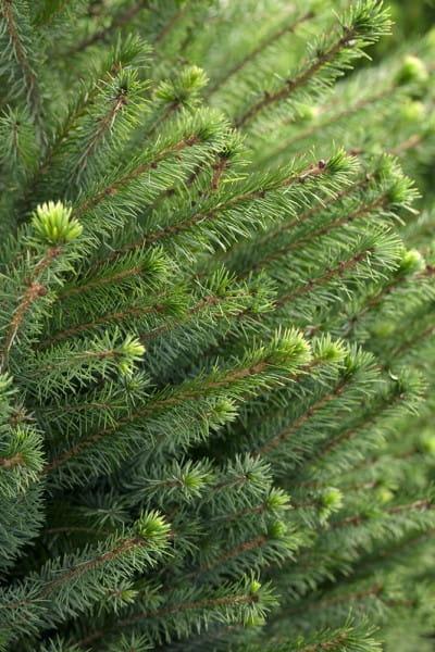 Serbische Fichte • Picea omorika