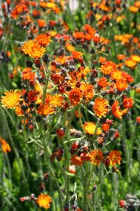 Orangerotes Habichtskraut • Hieracium aurantiacum