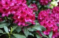Rhododendron Nova Zembla • Rhododendron Hybride Nova Zembla