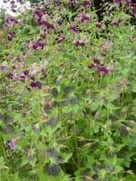 Brauner Garten Storchschnabel Samobor • Geranium phaeum Samobor
