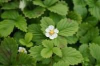 Garten-Monats-Erdbeere • Fragaria vesca var.semperfl.Rügen