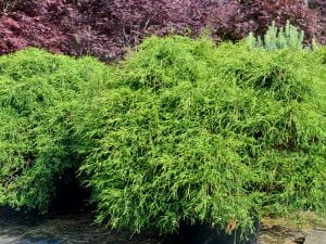 Grüne Fadenzypresse • Chamaecyparis pisifera Filifera Nana