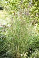 Garten-Chinaschilf Kleine Fontäne • Miscanthus sinensis Kleine Fontäne