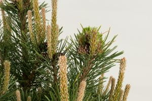 Strauch-Kiefer Gnom • Pinus mugo Gnom