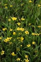 Brennender Hahnenfuß • Ranunculus flammula