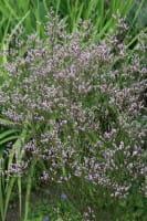 Breitblättriger Steppenschleier • Limonium latifolium