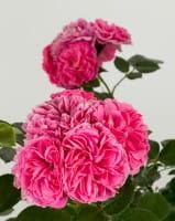 Rose Pink Swany • Rosa Pink Swany