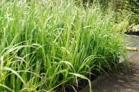 Garten-Pfeifengras Transparent • Molinia arundinacea Transparent