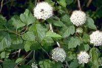 Fasanenspiere • Physocarpus opulifolius