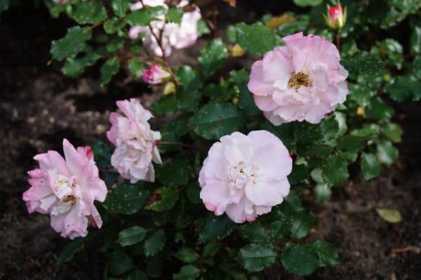 Beetrose Abigaile • Rosa Abigaile