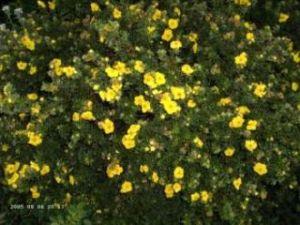 Fingerstrauch Sommerflor • Potentilla fruticosa Sommerflor